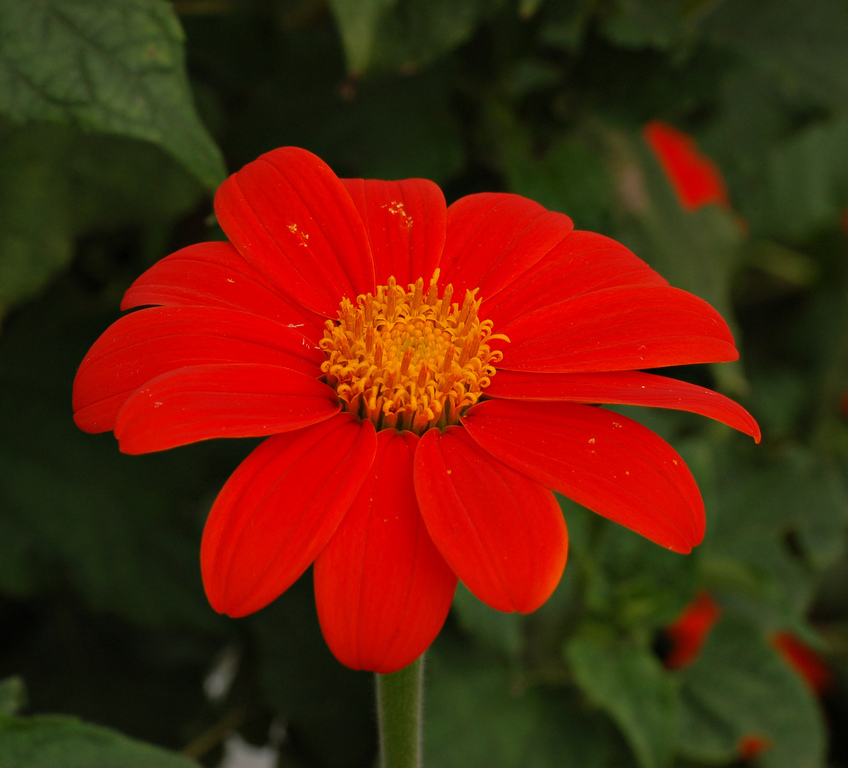 Large 1518624775 mexican sunflower tithonia rotundifolia flower 2163px